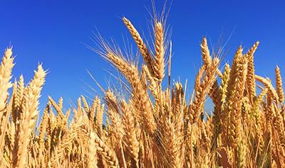Mise en marché des grains